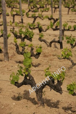 Виноградники скита Крумица