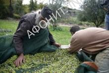 Сбор урожая оливок на Афоне