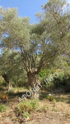 Оливковые сады на Афоне